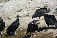 Zopilotes (Coragyps atratus), Can del Sumidero (twiga_swala) Tags: black birds ro river mexico scenery noir negro reserve aves tourist canyon mexican american cabeza fault tabasco vu