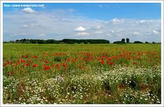 Homeland of Mine / Szülőföldem (FuNS0f7) Tags: summer hungary budapest poppies ferihegy sonycybershotdscf828