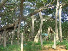 """THIMMAMMA MARRIMANU'' -The Worlds Largest  Banyan Tree at Gootybailu (ShambLady is travelling wants to, but cant keep up) Tags: india tree 2004 rural arbol boom guinness mari manu andhra baum banyan banyantree anantapur andrapradesh ficusbengalensis marri kadiri thimmammamarrimanu kahdri marimanu guinnessbookofrecordsguinnessbook thimmamma marrimanu treethimmammamarrimanuthimmamma marimanubanyantreeguinness gootybailu"