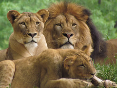 Lion's family !!! (jazzpics) Tags: family cats 30 canon zoo is washington big bravo ngc great super national lions sx zoon wow1 greatshots topshots specanimal photosandcalendar natureselegantshots panoramafotografico theoriginalgoldseal mygearandme mygearandmepremium mygearandmebronze mygearandmesilver mygearandmegold flickrportal mygearandmeplatinum mygearandmediamond ringexcellence dblringexcellence tplringexcellence felinesfelinos amazinglions flickrstruereflection1 flickrstruereflection2 flickrstruereflection3 flickrstruereflection4 vigilantphotographersunite vpu2 vpu3 vpu4 vpu5 vpu6