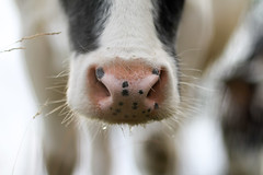 Cow from Flanders, Belgium (monsieur I) Tags: world life nature animal animals canon nose eos europa europe cows belgium bokeh f14 eu vache museau nohuman flickraward canoneos7d sigma85mmexdghsm monsieuri
