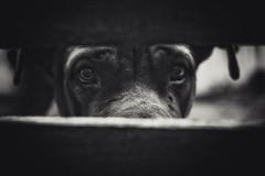 Dog (LeoMoyano) Tags: dog pet look eyes perro mastweiler