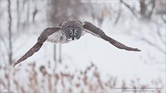 Great Grey Owl Hunting Naturally (Raymond J Barlow) Tags: owl greatgreyowl canada quebec wildlife nature naturallight workshop raymondbarlow birdinflight ontario notbaited