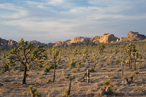 Joshua Tree woodland at sunset by you.