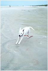 cartoon abby (jclutter) Tags: dog blur beach abby cartoon overcast