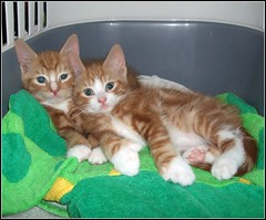 Charlie and Freddie (Stuart Axe) Tags: portrait pet cats pets face cat ginger kitten expression tabby kitty kittens charlie freddie polydactyl polydactylcat tomcat gingercat tabbycat gingertom polydactyly hemingwaycat kissablekat bestofcats gingertomcat catmoments charlieandfreddie friendsofzeusphoebe