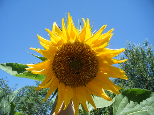 Blooming Sunflower