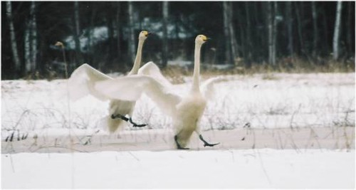 finland geese