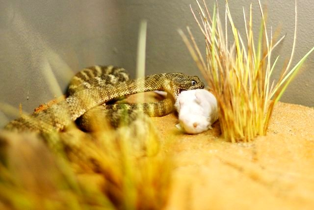 snake's lunch