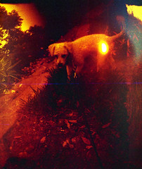 Dinky in red (Graustark) Tags: dog film mod texas houston halfframe dinky agat agat18 redscale ratapoo ratterrierpoodlemix
