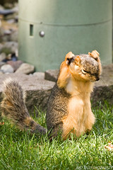 Hands Up! (James Marvin Phelps) Tags: urban cute animal photography rodent furry backyard squirrel michigan wildlife fox mandj98 jmpphotography jamesmarvinphelps michiganfoxsquirrel riverviewmichigan