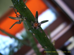 Rhytidocaulon macrolobum (Dominik W. Neuffer) Tags: flower starfish carrion asclepiadaceae asclepiad asclepiads rhytidocaulon macrolobum ascleps