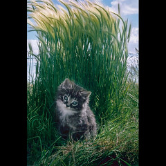 "Coy Little Kitten in the Tall Grass (IronRodArt - Royce Bair (""Star Shooter"")) Tags: light pet cute grass cat fur photography furry kitten soft little fuzzy sweet shy reflected tip tall curious lesson coy tutorial reflector babyanimal kittenmagazine royceswaybackphotos"