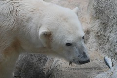 Eisbrin Maika im Tierpark Neumnster (Ulli J.) Tags: zoo polarbear tierpark maika eisbr neumnster ourspolaire