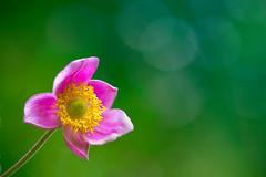 windflower ([Adam Baker]) Tags: pink summer flower green yellow canon venus bokeh explore anemone cornell pow simple frontpage adonis metamorphoses plantations adambaker 100mm28macro 5dmarkii justsomethingtobalanceoutthelowkey