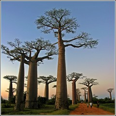 Sunset in the Baobab Avenue (Z Eduardo...) Tags: sunset people tree nature island madagascar baobab morondava baobabavenue platinumheartaward artofimages bestcapturesaoi bestofmywinners elitegalleryaoi