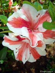 Deus e eu no sertão (S Cappuccio) Tags: brazil plant flower color planta nature brasil cores sony natureza flor h9 cappuccio dsch9 sandracappuccio