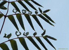 Rhythmic repetition (Mirthe Duindam) Tags: spinosa elata duivelswandelstok engelenboom arralia