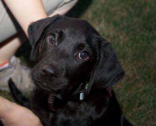Labrador Retriever And Golden Retriever Photos Gus 3 Months Black