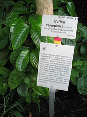 coffee plant (bionerd23 ) Tags: africa flowers red cactus plant berlin mushroom colors garden insect botanical succulent dangerous wasp purple desert natural dragonfly eating pflanzen seed australia blumen meat bee medical greenhouse fungus drugs sunflower drug tropical hornet poison bumble usage carnivorous garten medizin carnivore cactii blueten kaktus drogen remedy kakteen botanischer sukkulente tropische ingestion gewaechshaus naturheilkunde heilkunde