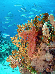 Fire Coral (Abdullah Samman) Tags: fish underwater redsea scubadiving coralreef underwatercamera marinelife underwaterphotography        redseafish     abdullahsamman