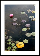 autumn water lily (joe.laut (offline for a while)) Tags: flower berlin waterlily september 2009 landesgartenschau oranienburg flickrsbest platinumphoto joelaut