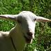 Baliwag Goat
