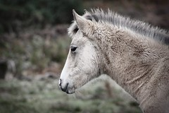 new coat (romorga) Tags: newforest foal palomino wintercoat thickcoat horse pony gorse heather grass watching onwatch watchingover horseonguard canon eos 350d rebel romorga 2009 nature wils feral animal equine hampshire uk british england southernengland centralsouthernengland central naturalworld britishnature wild vthenewforest newforestpony newforesthorse feralpony ferelhorse hampsjire hants   k hest paard hevonen chevel innoc ko cavalo  hst  newforestengland newforestsoutheastengland southeastengland newforesthampshire newforesthampshireengland equidae equid equids mammalia perissodactyla