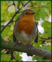 October Robin ! (Church Mouse 07) Tags: park uk autumn bird nature robin lumix october wildlife panasonic british wildbird 100comments 100commentgroup alittlebeauty dmcfz28 churchmouse07 naturesgreenpeace