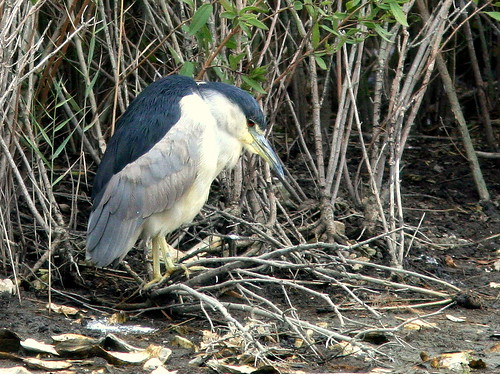 Black-crowned Night-Heron 20091014