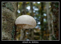 Oudemansiella mucida 2 (JM Ripoll) Tags: france forest mushrooms bosque fungus funghi pilze wald parc svamp mycology pilz champignons setas fong bosc foresta cogumelos fungo bolets micologia mikologia onddo oudemansiellamucida perretxikoak micología aquitanie mycologie urdos parcnationaldespyréneesoccidetales occidetales pilzkunde foraoise