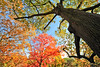 Canopy of Colours (KNL-17) Tags: autumn plant toronto tree leaves nikon highpark d700 sigma1224mmf4556exhsm