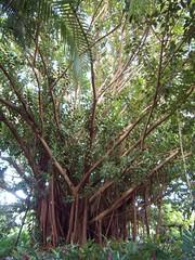 hawaii083 (lindseycore) Tags: hawaii honeymoon banyantree