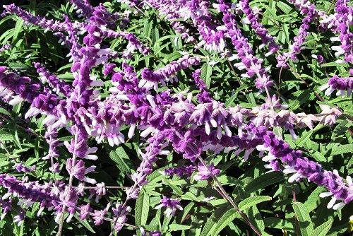 Salvia leucantha (rq) - 03