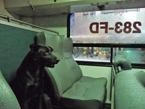 新店客運650上的黑狗/a dog on Bus 650