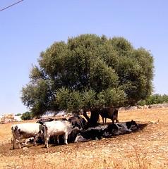 Siesta (amerigo.colarusso) Tags: italy cow nikon italia siesta sicily animali sicilia mucche fromtheside donnafugata internationalflickrawards travenl