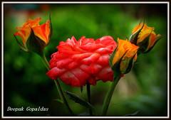 Flowershow 2009 (Deepak gopaldas) Tags: macro colors chennai flowershow