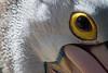 Look into my eye... (Peter Nijenhuis) Tags: bali indonesia 500d australianpelican pelecanusconspicillatus ef70300mmf456isusm tamanburungbalibirdpark peternijenhuis