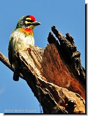 MAN OF THE HOUSE (Rahul Rallan) Tags: birds perched barbet coppersmithbarbet supershot specanimal mywinners abigfave anawesomeshot flickrdiamond theunforgettablepictures nestinghole