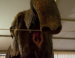 elephant - 5 (walterfrankvoort) Tags: elephant circus cirque parijs alexisgruss circussen januari2010