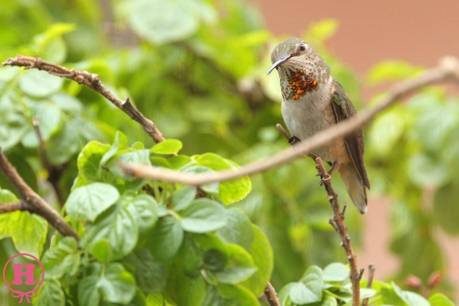 Allen's Hummingbird 061811