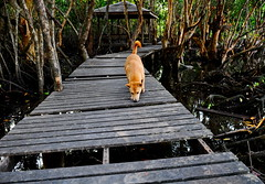,, Mama, Swamp ,, (Jon in Thailand) Tags: mangroveswamp mama swamp boardwalk jungle nikon d300 nikkor 175528 dog k9 reptiles littledoglaughedstories