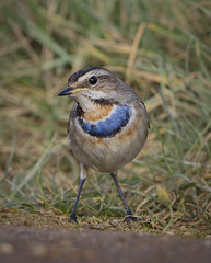 First Winter Male Bluethroat (Chris Bainbridge1) Tags: luscinia svecica bluethroat first winter male lincolnshire