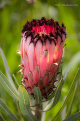 Flower From South Africa (flopper) Tags: santacruz flower arboretum protea ucsantacruz flopper southafricaflower