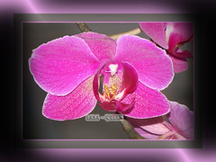 Orchide (Lara-queen) Tags: france flower nature fleur canon ilovenature t 2009 orchide naturesfinest quynhvu natureselegantshots wonderfulworldofflowers laraqueen