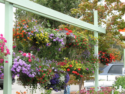 hanging flower baskets in bloom