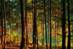 Summer Enchantment Galiano Island BC (Northern Straits Photo) Tags: trees sunset canada pine forest bay bc harbour britishcolumbia evergreen fir inlet gulfislands galianoisland montague arbutustree montagueharbour beautifulworldchallenges montagueprovincialpark northernstraitsphotography ireenanieuwenhuisworthyphotography