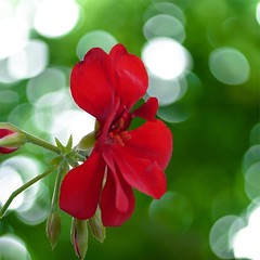 Red (Tasmin_Bahia) Tags: light red summer plant flower colour detail macro green nature beautiful garden outside outdoors pretty natural bright bokeh fresh buds colourful delicate simple magical serensgarden