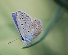 Plebejus argus (Le pot-ager) Tags: animaux insectes lycaenidae plebejusargus lpidoptres