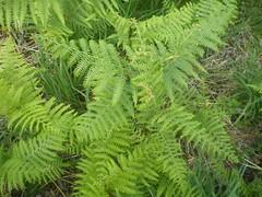 green (harry lunts photography) Tags: trees fern tree green nature foliage leafs greenleafs birdsnestfern